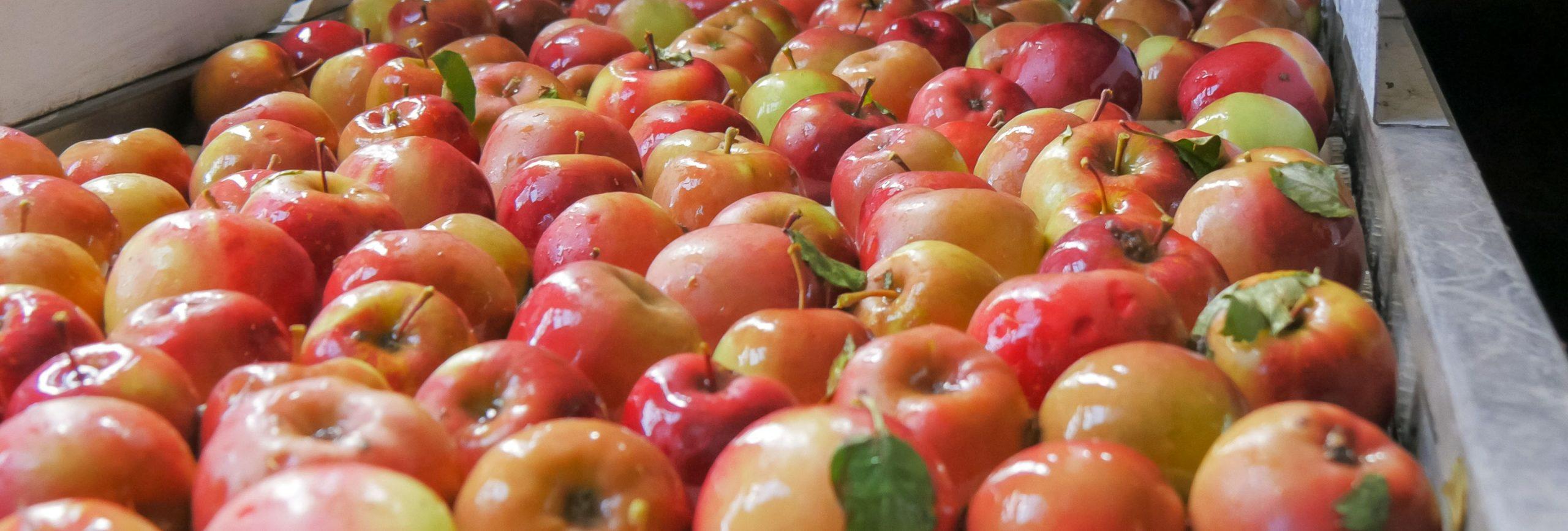 Les pommes des Jus de Marmande, Terres du Sud