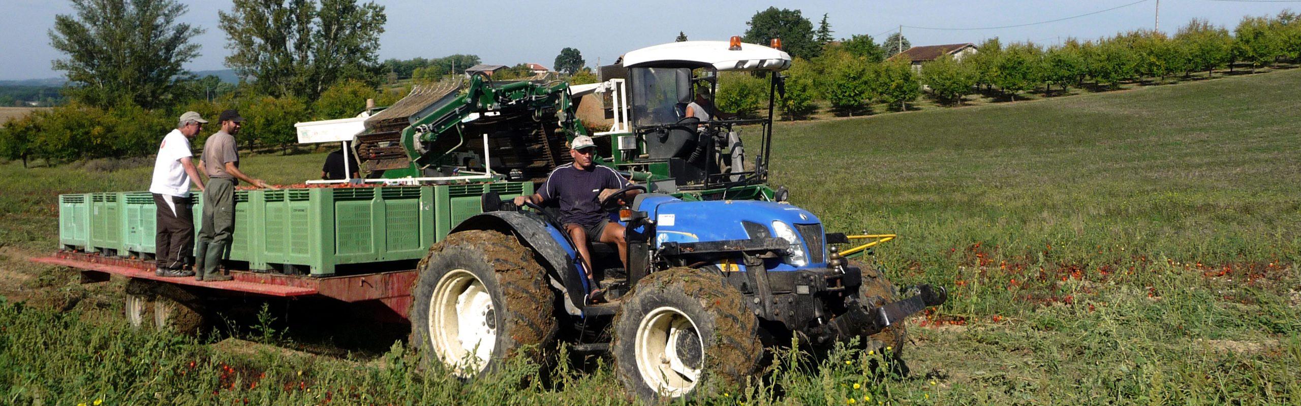 Récolte de tomates bio à jus pour O natur, Terres du Sud