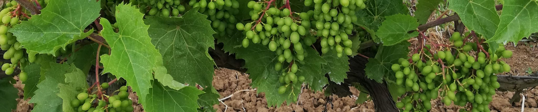 Raisins pour Vallée Verte, jus de fruits Terres du Sud