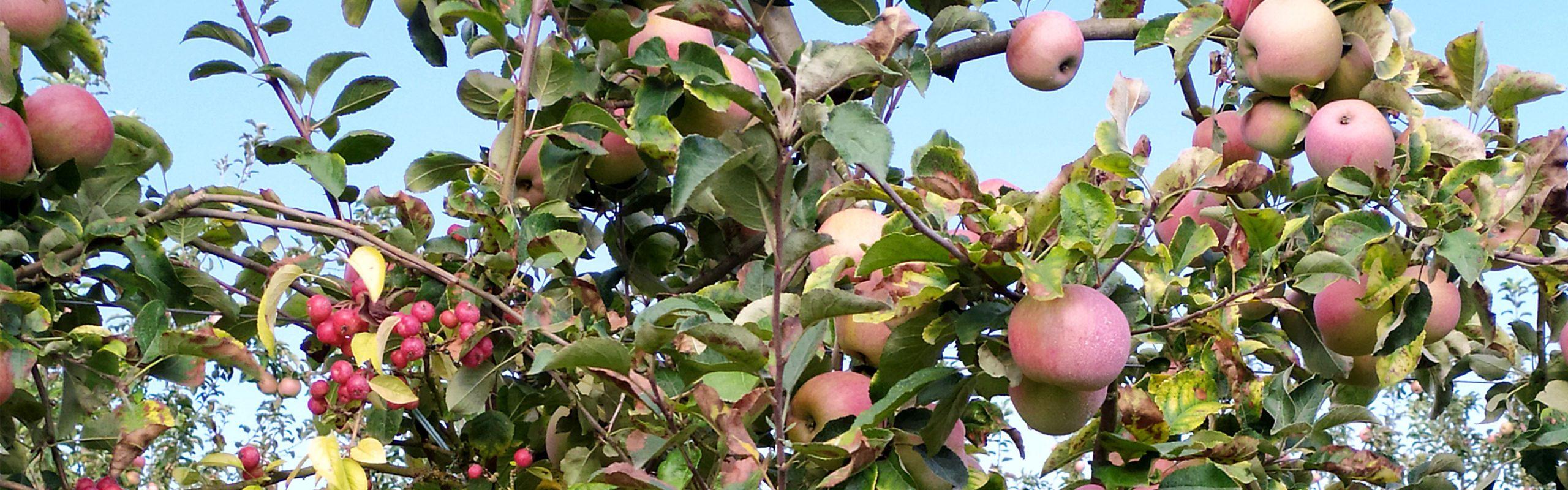Pommes à Jus de marmande, Groupe Terres du Sud