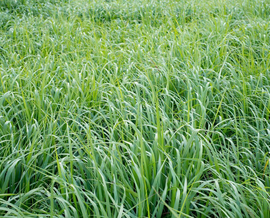 Culture du switchgrass au groupe terres du sud