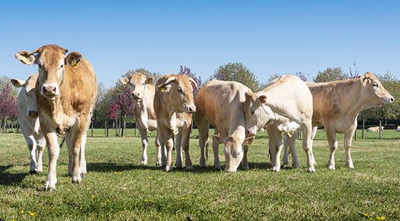 Expalliance, coopérative pour éleveurs de vaches bondes d'Aquitaine