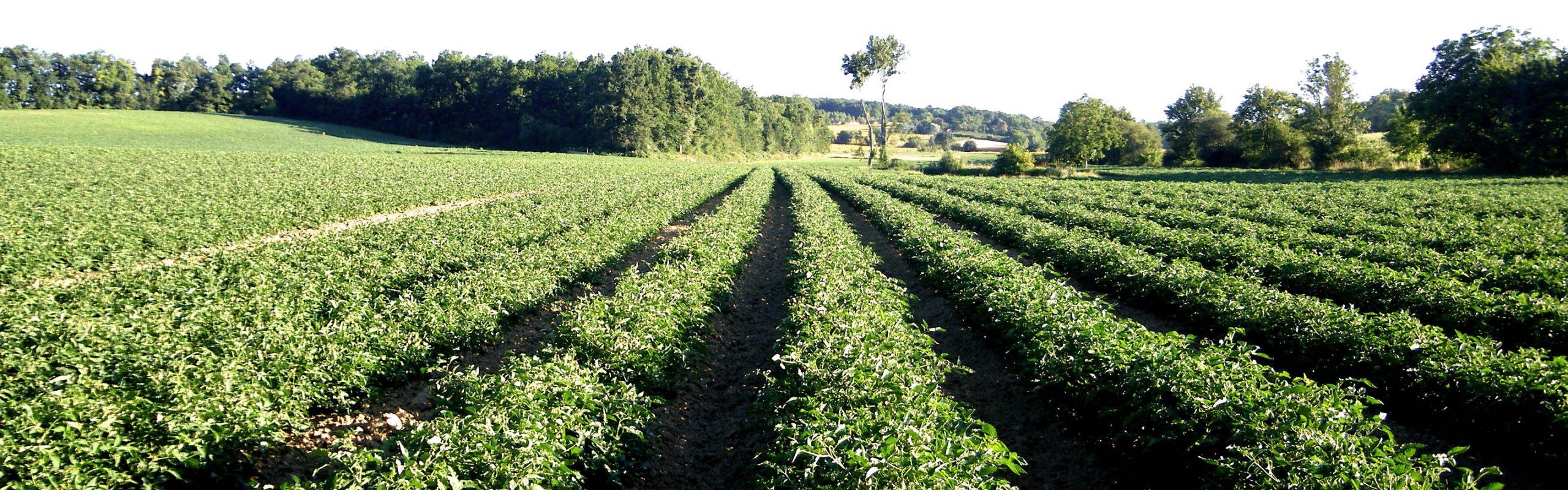Production de tomates industrielles, terres du sud